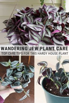 House Plants 16184879897968715 - Learn how to care for a wandering jew plant. The wandering jew plant is hardy and easy to care for. It will make the perfect addition to your collection! Source by anitayokota Best Indoor Plants, Outdoor Plants, Garden Plants, Flowering Plants, Indoor House Plants, Common House Plants, Easy House Plants, Indoor Plants Low Light, Hoya Plants