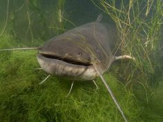 Wels Catfish Wels Catfish, Jeremy Wade, River Monsters, Colorful Fish, Underwater World, Oceans, Dolphins, Fresh Water, Shark