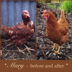 Mary, before and after. Mary is an ex-battery hen, now transformed into a princess :)