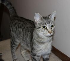 Arabella is a sweet tabby girl who loves attention.  She often chirps as she walks by to ask for pets.  She loves to curl up on laps as long as she can still keep a watchful eye on her kittens as they play!  The adoption fee is $20 for adult cats. ...