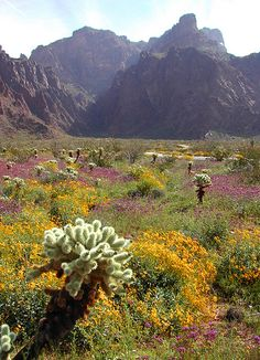 Desert Flowers ~ Yuma, Arizona
