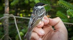 Tiny blackpoll warbler flies 3 days non-stop in record migration - Technology & Science - CBC News