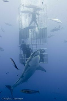 Great white shark and submersible cage Orcas, Megalodon, All About Sharks, Shark Bait, Undersea World, Shark Diving, Apex Predator, Deep Blue Sea, Great White Shark