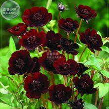 Cosmos BELLFARM Coreopsis Café Escuro Vermelho Listrado Branco Vermelho Escuro Rosa Vermelha Sementes de Flores Perenes, 50 sementes, bom jardim de casa(China)
