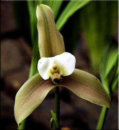 RARE LYCASTE ORCHID