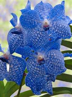 Garden Flowers - Annuals Or Perennials Blue Orchids Unusual Flowers, Amazing Flowers, My Flower, Beautiful Flowers, Flower Diy, Beautiful Beautiful, Flower Crochet, Vanda Orchids, Blue Orchids