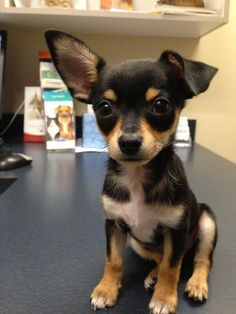 "To me this screams ""Jack-Russell Chihuahua mix"" for some reason. :)"