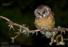 Unspotted Saw-whet Owl - Chris Jimenez