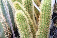 Types of Cactus: Details, Photos (Labelled!) & Varieties | Debra Lee Baldwin, Succulent Expert Cactus Types, Cactus Plants, Hanging Succulents, Rat, Detail, Photos, Dinner, Types Of Cactus, Rats