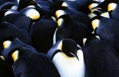 pinguinos antárticos  Los Fotógrafos de National Geographic: Frans Lanting - Backfocus