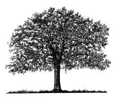 oak tree clip art black white - Google Search
