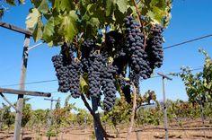 Vinos mexicanos y vinicolas de Mexico: Fiesta de vendimia en Mexico