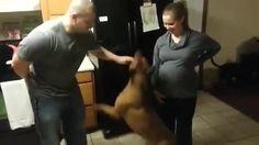 http://coub.com/view/54mol Собака защищает еще не родившегося ребенка