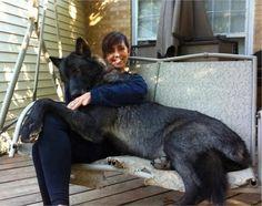 Irish Wolfhound Extra Large Dog Breeds in Dog