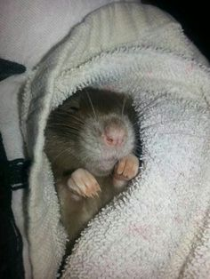 9 Rat Photos Guaranteed To Brighten Your Day – Rats Make Me Happy Rats are so cute! Stop the hate Funny Rats, Cute Rats, Animals And Pets, Baby Animals, Cute Animals, Guinea Pig Toys, Guinea Pigs, Les Rats, Funny Animal Pictures