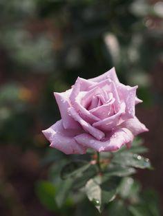 'Madame Violet'   Hybrid Tea Rose. Kikuo Teranishi (Japan, 1981)   Flickr - © Polotaro