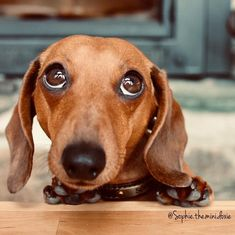Some Helpful Ideas For Training Your Dog. Loving your dog does not mean you are willing to let him go hog wild on your possessions. That said, your dog doesn't feel the same way. Dachshund Funny, Vintage Dachshund, Dachshund Puppies, Dachshund Love, Cute Puppies, Daschund, Long Haired Dachshund, Weenie Dogs, Doggies