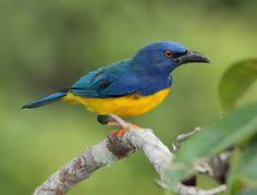 pipira azul_cyanicterus cyanicterus Brazilian Birds