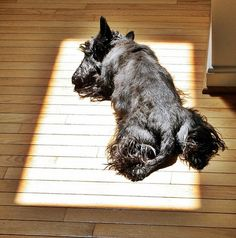 scottish terrier on the sunny spot. Maggie always does this!