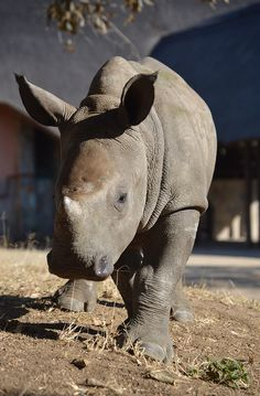 Orphaned rhino at the Big Cat & Endangered Wildlife volunteer project