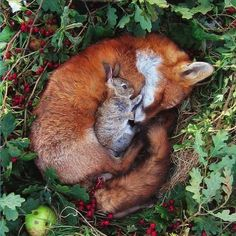 Baby BUNNY, Laying on a Little, Sleeping Fox? Aaawww....<3