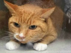GIGI - A1095845 - - Staten Island  Please Share:***TO BE DESTROYED 11/08/16***  NEW HOPE ONLY – WAS SHY AND PLAYFUL IN PAST HOME. -  Click for info & Current Status: http://nyccats.urgentpodr.org/gigi-a1095845/
