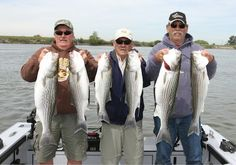 GUIDE RICK KENNEDY of Tight Lines Guide Service fished the Rio Vista area on April 11 with Rich Graves of Yuba City, Chuck Thomas of Yuba City and Bill Lowe of Marysville for limits of stripers to 12 pounds caught trolling shallow running Rapalas and Yozuri's with a white worm trailer.