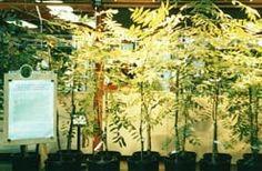 Jeremijenko's one trees project