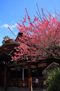 Kandaijin-jinja shrine plumblossom in Kyoto