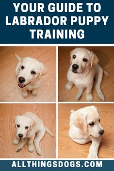 Having a puppy is a big responsibility, a lot of effort and patience is required to raise a sociable family companion. Lab puppies are full of mischief and fun, so it's important to start Labrador puppy training right to ensure you have a fun and well behaved dog. Check out our guide for more.  #labradortraining #labradorpuppytraining #labtraining
