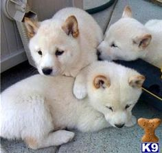 Cream Shiba Inu Puppies -and they all have black noses OMFG I just squealed so hard!!!!!!