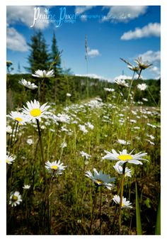 Prince Albert National Park littered with beautiful fields of daisies Canada National Parks, Parks Canada, Daisy Field, Largest Countries, Prince Albert, Wildflowers, Daisies, Wilderness, Fields