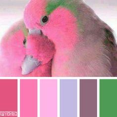 Pink Parrotlet