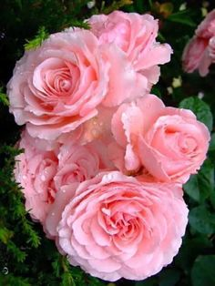 ℛ Beautiful Pink Roses, Pretty Roses, Love Rose, Purple Roses, Pink Flowers, Beautiful Flowers, Rose Pictures, Flower Photos, Wedding Flower Guide