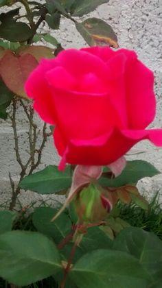 Bella rosa... De mi jardin