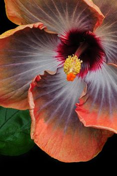 ~~Hibiscus Key Largo by Dave Mills~~