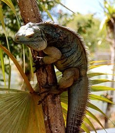 Blue iguana - Wikipedia, the free encyclopedia
