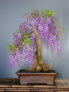 TROPICA - Tree wisteria (Bolusanthus speciosus) - 15 Seed... https://www.amazon.co.uk/dp/B00NXVZF1M/ref=cm_sw_r_pi_dp_syyNxbJCM1T02