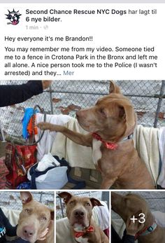 11/30/16 ❤️❤️ NYC ACC SURVIVOR BRANDON SURVIVED PNEUMONIA AND IS NOW READY FOR HIS FOREVER ❤️❤️❤️ PLEASE SHARE/ADOPT /ij  https://m.facebook.com/story.php?story_fbid=1086790281430026&id=268612969914432&__tn__=%2As
