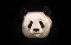 Großer Panda © naturepl.com / Edwin Giesbers / WWF