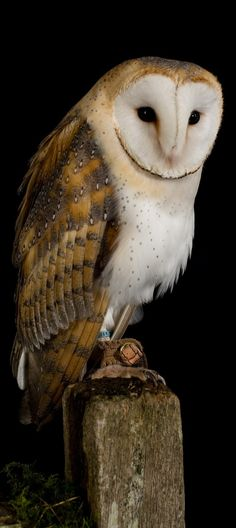 Discover amazing nocturnal facts about the barn owl and the use of the sounds it produces. Owl Photos, Owl Pictures, Beautiful Owl, Animals Beautiful, Animals Amazing, Owl Bird, Pet Birds, Nocturnal Animals, Wild Animals