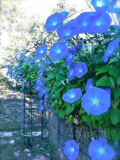 Bright blue morning glory vine blooms in the a. Morning Glory Vine, Morning Glory Flowers, Morning Glories, Morning Rose, Flowering Vines, Flower Seeds, Dream Garden, Garden Inspiration, Beautiful Gardens