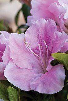 Autumn Sweetheart™ | Encore® Azalea: The world's best-selling multi-season blooming azalea