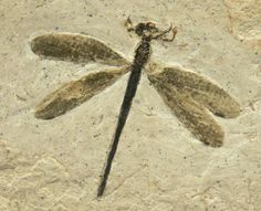 Parahemiphlebia Cretaceous Damselfly Class Insecta, Order Odonata, Suborder Zygoptera, Family Hemiphlebiidae. Geological Time: Lower Cretaceous, Late Aptian-Cenomanian (108-92 million years ago). Size: Insect fossil has 29mm wingspan, Head-Body length 25mm, Matrix: 90mm by 80mm. Locality: Crato Formation, Brazil.