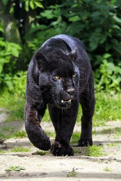 Black Jaguar or Black Panther - Beautiful and elegant cat walking towards the Viewer - New Version 1 Black Panther Cat, Panther Leopard, Jaguar Noir, Chat Lion, Lion Tigre, Heide Park, Big Cat Family, Panther Pictures, Serval Cats