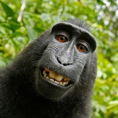 A macaque monkey takes a selfie on the Indonesian island of Sulawesi with a camera owned by British nature photographer David Slater. (Photo by Naruto the Macaque/David Slater/PETA/AP) Baby Animals, Funny Animals, Cute Animals, Smiling Animals, Wild Animals, Funny Animal Faces, Animals Images, Nature Animals, Funny Animal Humor