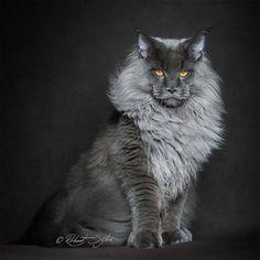 Ik heb een grijze maincoon/noorse boskat Odie, deze foto lijkt er het meest op.