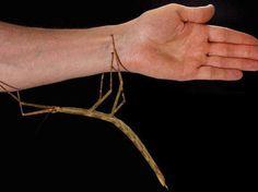 O Phryganistria tamdaoensis é uma nova espécie de bicho-pau gigante, que chega a 23 centímetros de comprimento. Um verdadeiro mestre da camuflagem, ele passou despercebido durante anos no Parque Nacional de Tam Dao, em uma área montanhosa no noroeste do Vietnã. Espécimes vivos estão em exposição no biotério do Instituto Real Belga de Ciências Naturais de Bruxelas.