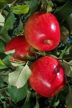 Shiny red apples.