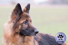 Central German Shepherd Rescue wishes Maya, a 7 year old female German Shepherd best wishes in her adoption from CGSR. Female German Shepherd, German Shepherd Rescue, Maya, Abandoned, United Kingdom, Animals, Left Out, Animales, Animaux